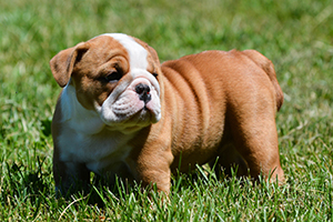English Bulldog Breeds