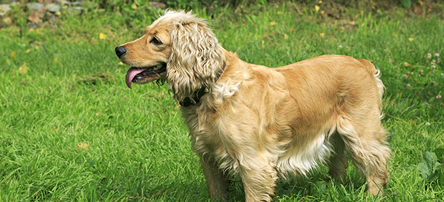 The Definitive Guide To English Cocker Spaniel Dogs