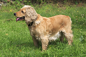 English Cocker Spaniel Dog Breeds