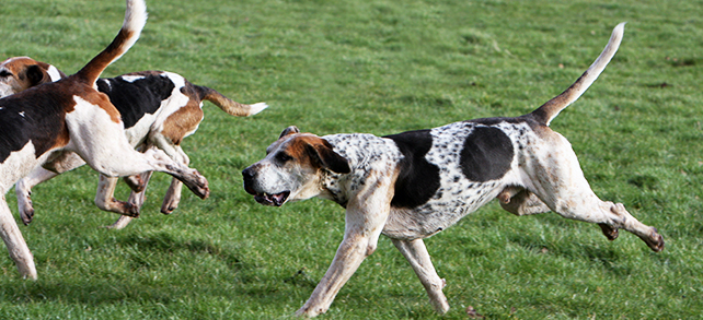 English Foxhound Dog Breed