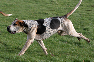English Foxhound Dog Breeds