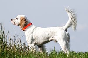 English Pointer Dog Breeds