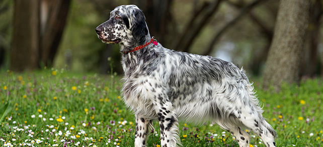 The Definitive Guide To English Setter Dogs