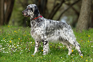 English Setter Dog Breeds