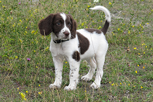 English Springer Spaniel Dog Breeds