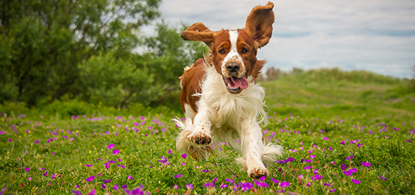 English Springer Spaniel Dog Exercise And Personality
