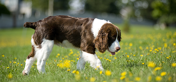 English Springer Spaniel Dog Facts And Characteristics