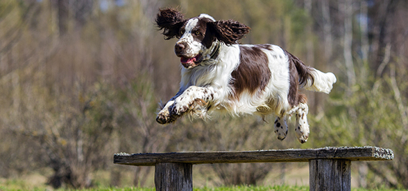 English Springer Spaniel Dog Feeding And Diet