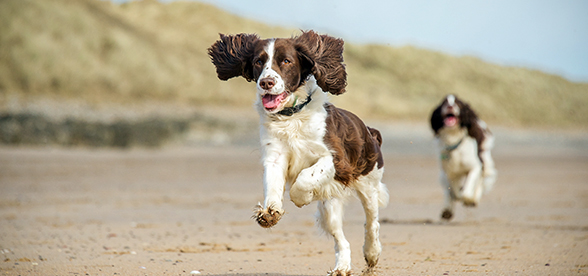 English Springer Spaniel Dogs