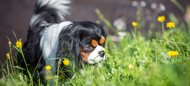 The Definitive Guide To English Toy Spaniel Dogs