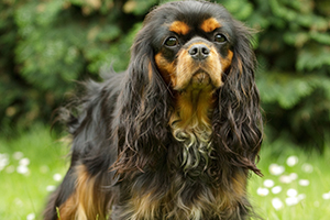 English Toy Spaniel Dog Breeds