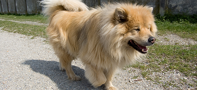 Eurasier Origin History