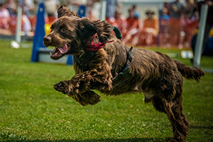 Field Spaniel Dog Breeds