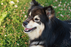 Finnish Lapphund Dog Breeds