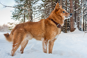 Finnish Spitz Dog Breeds