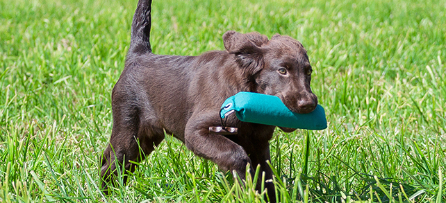 The Definitive Guide To Flat Coated Retriever Dogs
