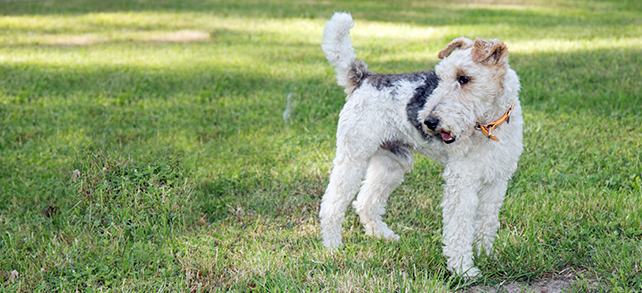The Definitive Guide To Fox Terrier Dogs