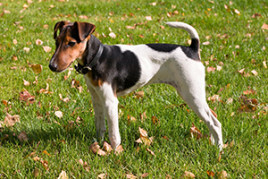 Fox Terrier Dog Breeds