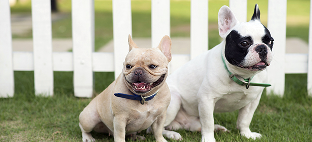 The Definitive Guide To French Bulldogs