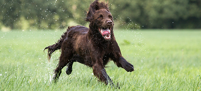 The Definitive Guide To German Longhaired Pointer Dogs