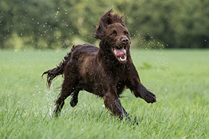 German Longhaired Pointer Dog Breeds
