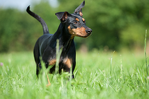German Pinscher Dog Breeds