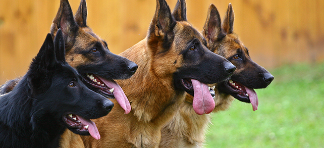 The Definitive Guide To German Shepherd Dogs