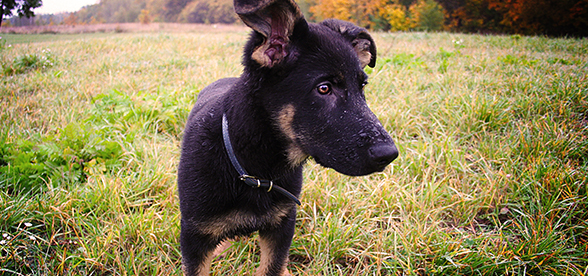 German Shepherd Dog Exercise And Personality