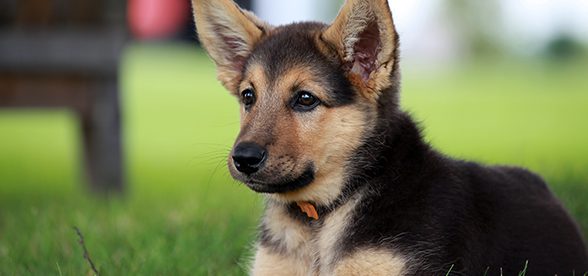 German Shepherd Dog Facts And Characteristics