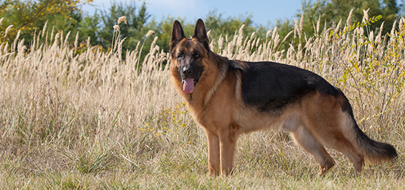 German Shepherd Dog Origin And History