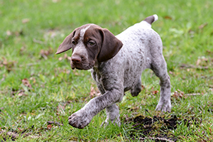 German Shorthaired Pointer Dog Breeds