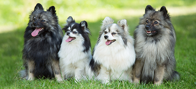German Spitz Dog Breed
