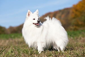 German Spitz Dog Breeds