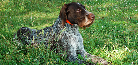 German Wirehaired Pointer Dog Facts And Characteristics