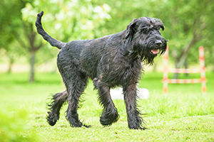 Giant Schnauzer Dog Breeds