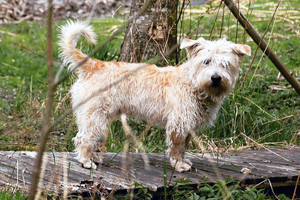 Glen Of Imaal Terrier Dog Breeds