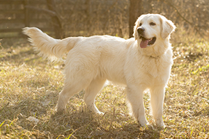 Golden Retriever Dog Breeds
