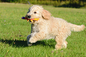 Goldendoodle Dog Breeds