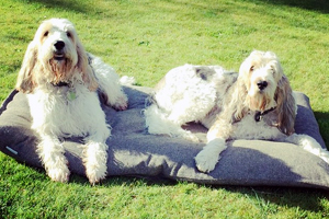 Grand Basset Griffon Vendeen Dog Breeds