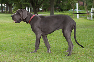 Great Dane Dog Breeds