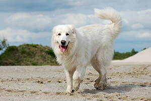 Great Pyrenees Dog Breeds