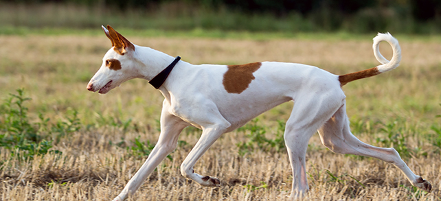 The Definitive Guide To Ibizan Hound Dogs