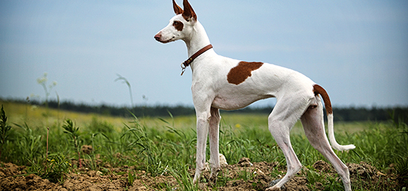 Ibizan Hound Dog Exercise And Personality