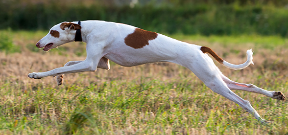 Ibizan Hound Dog Feeding And Diet