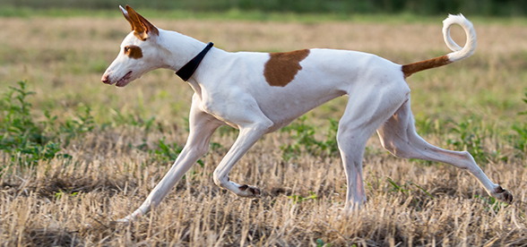 Ibizan Hound Dog Health Problems And Lifespan