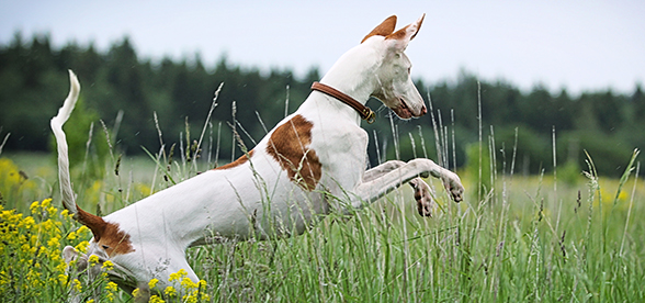 Ibizan Hound Dog Origin And History