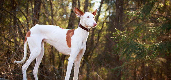 Ibizan Hound Dog Temperament And Training