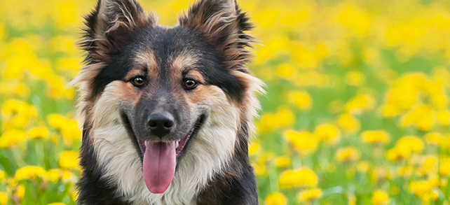 Icelandic Sheepdog Breed