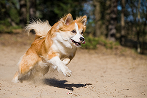 Icelandic Sheepdog Breeds