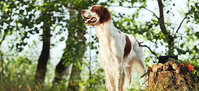 The Definitive Guide To Irish Red And White Setter Dogs
